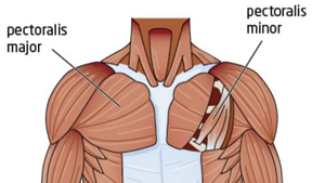 Chest muscle
